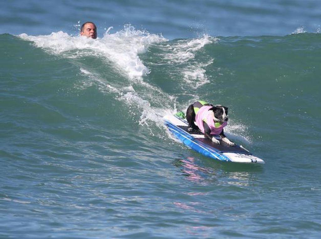 Kontes Surfing Khusus Anjing, Atraksi Wisata Unik di Pantai AS