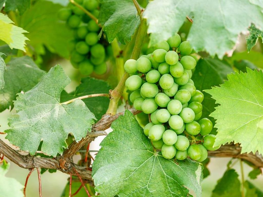 Ini Alasan China Mulai Menanam Anggur di Luar Angkasa