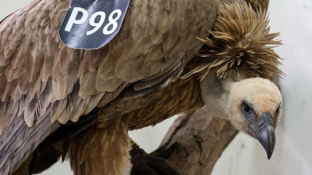 Lebanon Lepaskan Burung Pemakan Bangkai yang Dituduh Mata-mata Israel