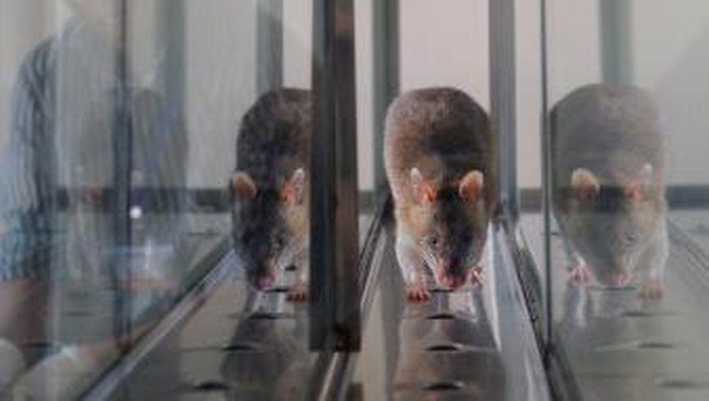 Bagaimana Mekanisme Penyerahan Tikus yang Ditukar Rp 20 Ribu per Ekor?