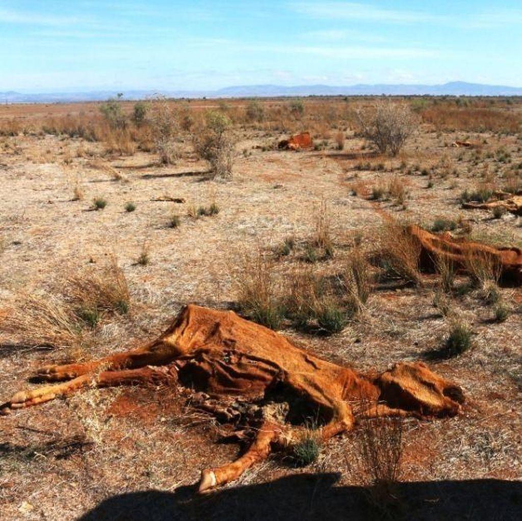 Ratusan Ternak di Australia Selatan Mati karena Penyakit Misterius