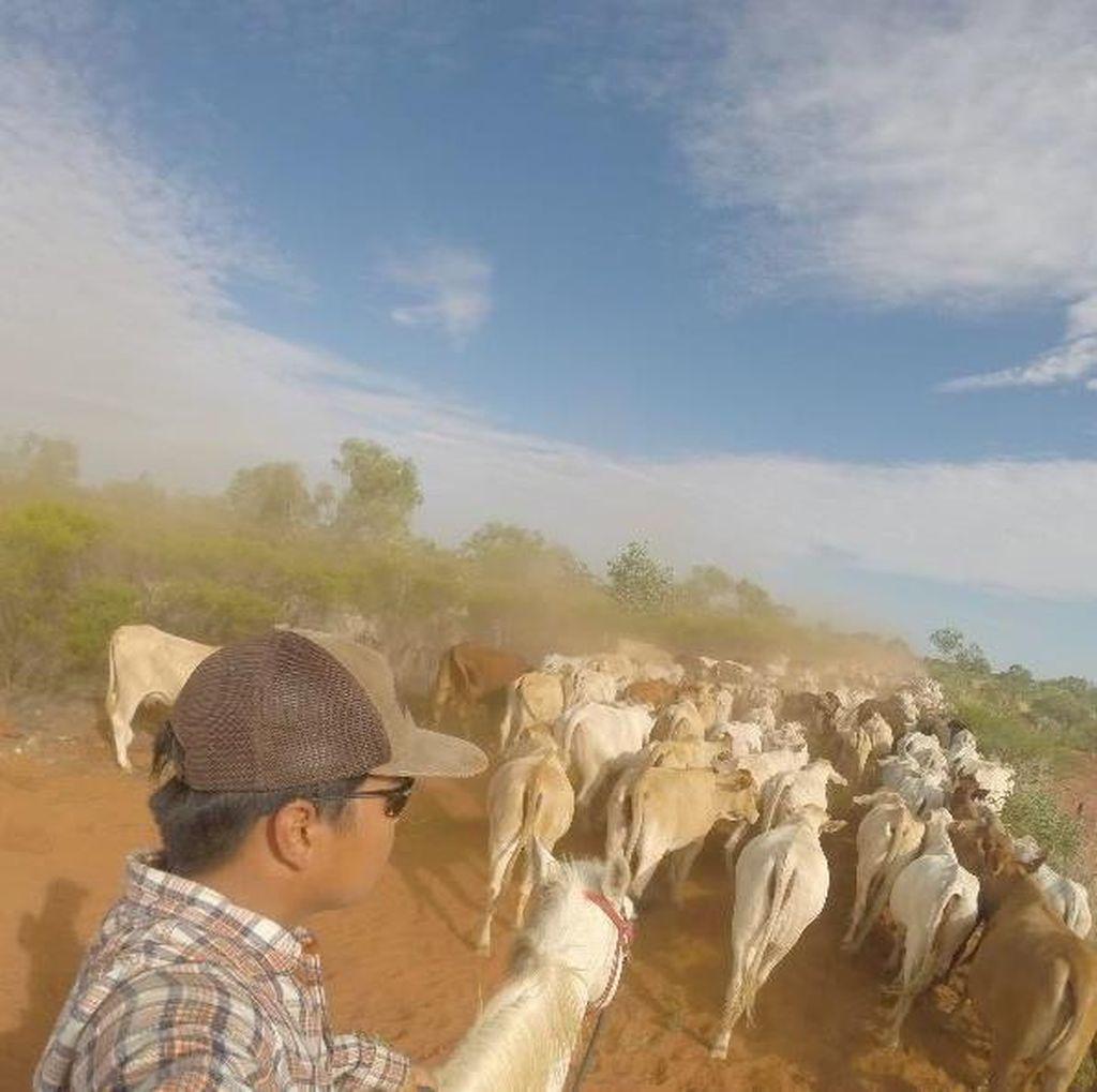 Ketika Mahasiswa Indonesia Menggiring Sapi di Pedalaman Australia