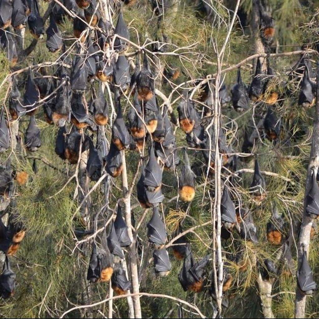 Atasi Teror Kelelawar, NSW Anggarkan Dana Rp 25 Miliar