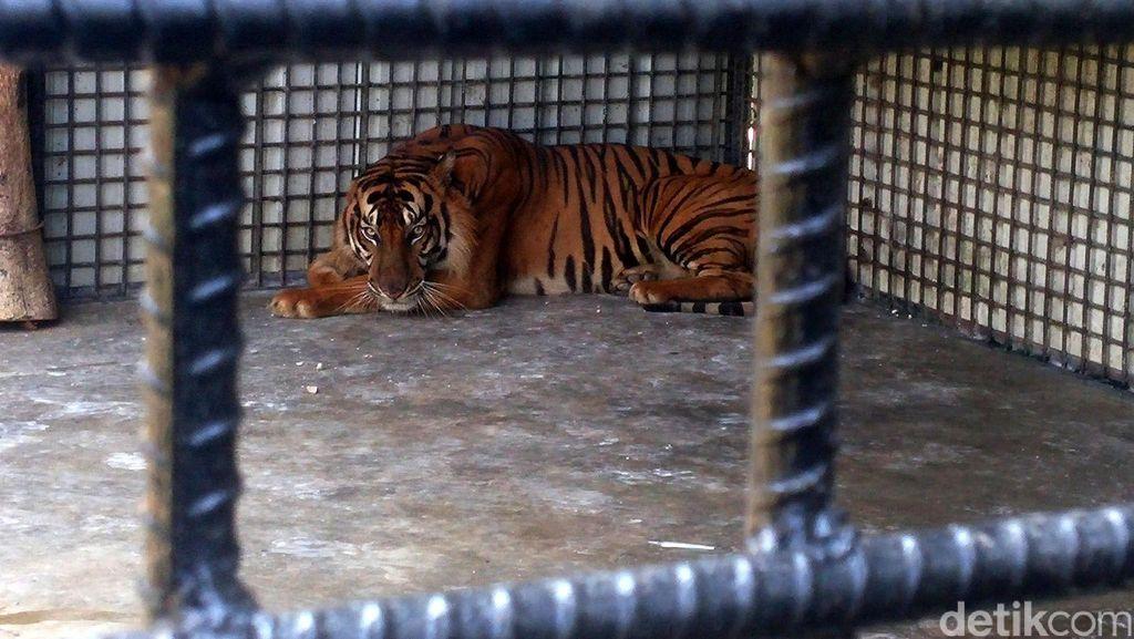 BKSDA Terima Laporan Baru, Total 4 Anak Harimau Mati di Bukittinggi