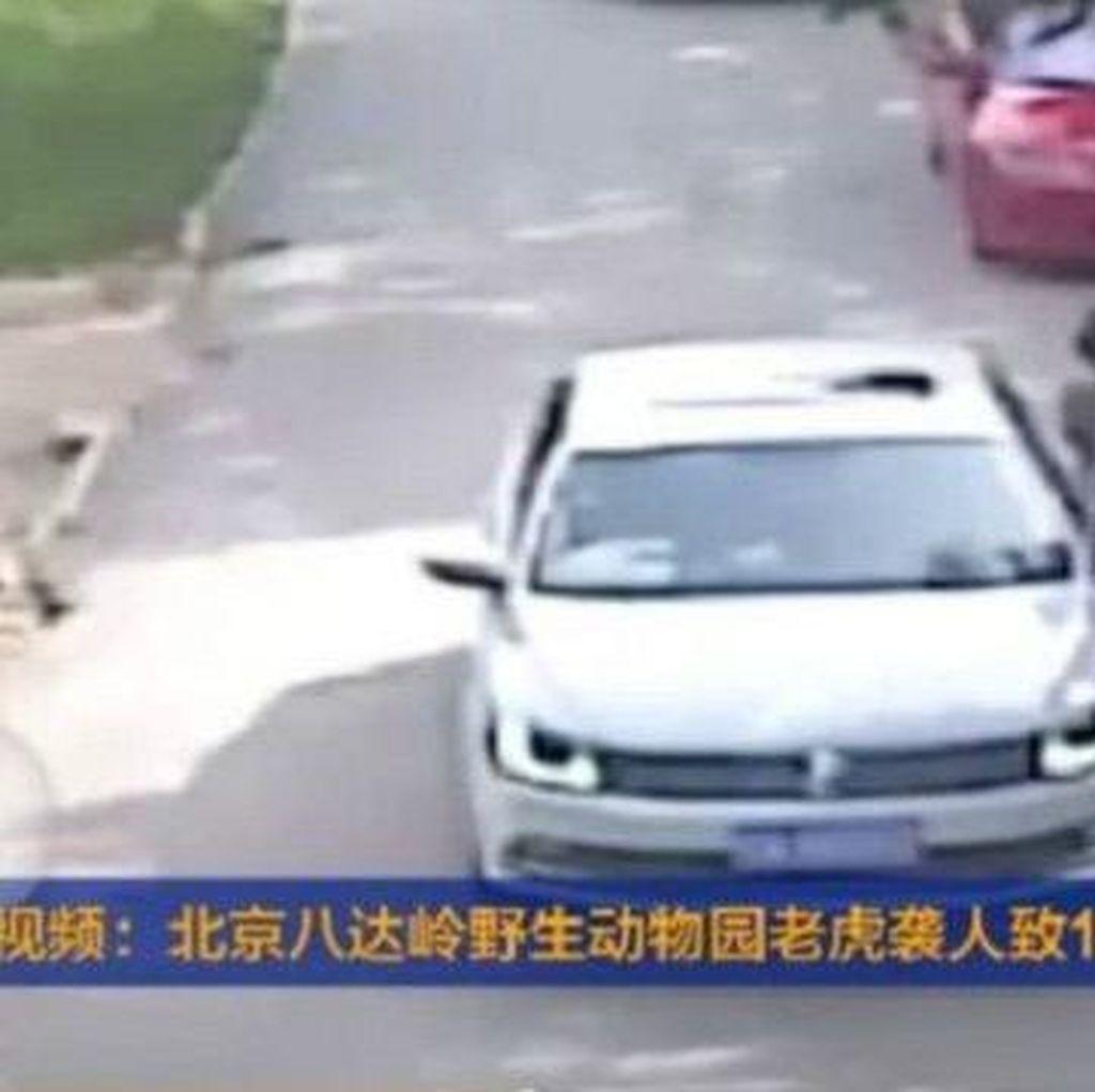 Seorang Wanita Tewas Diterkam Harimau di China