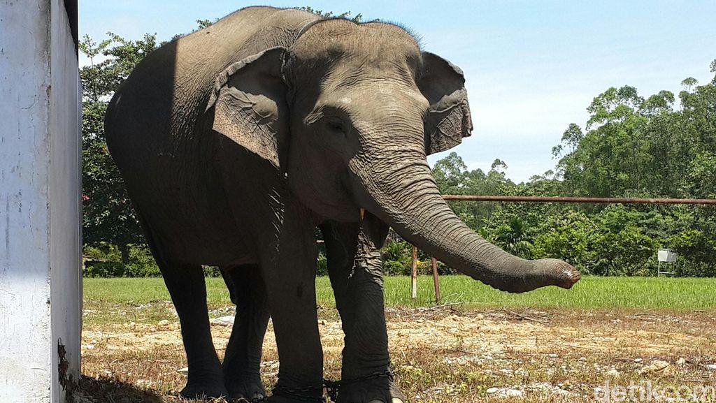 Sepenggal Kisah Gajah-gajah yang Dipelihara di Alam Bebas Siak Riau
