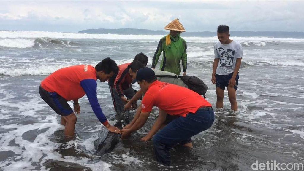 Seekor Lumba-lumba dengan Tubuh Penuh Luka Terdampar di Pantai Cilacap