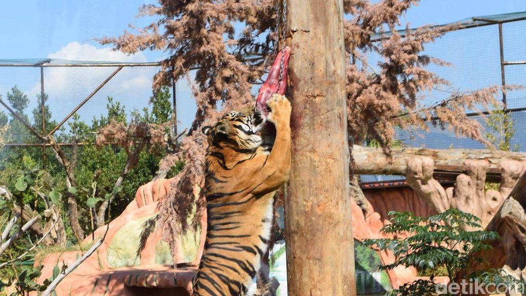 Di Eropa, Harimau Sumatera Jadi Ikon Perlindungan Satwa Langka
