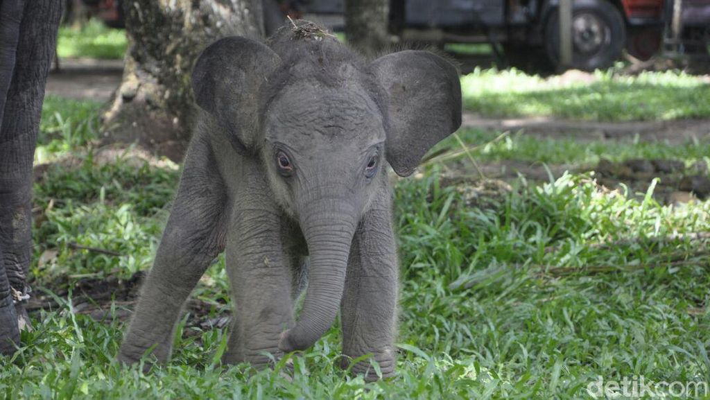 Taman Nasional Way Kambas Sambut Kelahiran 1 Ekor Gajah Betina