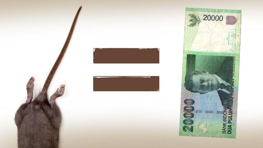 Bangkai Tikus Buruan Warga Akan Dijadikan Pupuk Organik