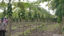 Dulu Dianggap Gila, Kini Petani Asal Lamongan Ini Sukses Bisnis Pepaya Calina