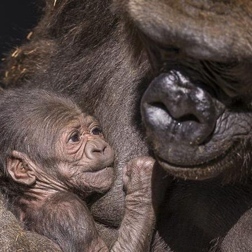 Gemas! Bayi Gorila Lahir di Kebun Binatang San Diego AS