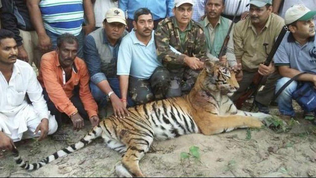 Harimau Pemakan Orang di India Akhirnya Dibunuh