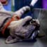 Sterilisasi kucing betina (mengangkat rahim) dan kastrasi (kebiri) kucing jantan ini untuk mencegah penyakit rabies dan untuk mengurangi populasi kucing liar.