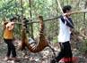 Harimau Sumatera itu mati dengan kondisi kaki depan yang membusuk.