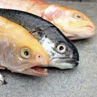 Nutrisi Terbaik untuk Sperma Ada di Ikan Laut