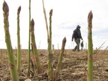 Asparagus Impor Rugikan Petani di Amerika
