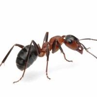 10 Cara Alami Mengatasi Serangan Semut