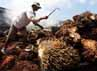 Sejumlah pekerja melakukan panen kelapa sawit di PTPN VIII Kertajaya, Banten.