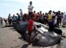 Ikan jenis ini merupakan  temuan yang kedua yang  terdampar di kawasan Bantul.  Yang pertama ditemukan di  Pantai Pandansimo Baru, Desa  Poncosari kecamatan Srandakan  Bantul. (Bagus  Kurniawan/detikcom)