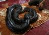 Pengunjung menyaksikan atraksi ular. (Ramses/detikcom).