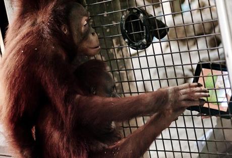 Asah Kemampuan, Orangutan Disodori iPad