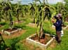 Perkebunan Buah Naga seluas 27 hektar ini merupakan lahan milik Bosowa Agro Industries.