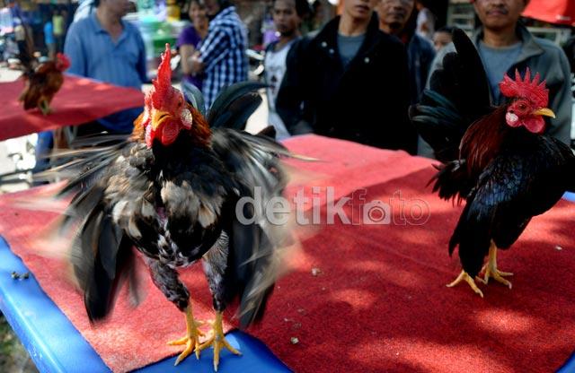 Ayam-ayam Peragawan Adu Tampan