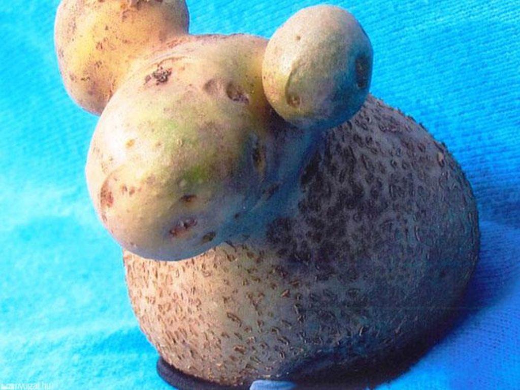 Bentuk kentang kalau dilihat-lihat mirip domba ya. Ada tanduk juga!