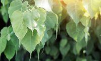 Ficus religiosa atau dikenal sebagai pohon peepal ini tak hanya menyerap karbondioksida pada malam hari tetapi juga ditengarai untuk diabetes, mengobati sembeli, serta asma. Foto: Thinkstock