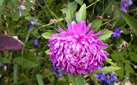 Bunga gerbera yang berwarna cerah dan termasuk dalam famili Aster ini juga dapat melepaskan oksigen di dalam hari. Bagi orang yang menderita insomnia atau gangguan tidur apnea, meningkatkan jumlah oksigen di dalam ruangan dapat mencapai tidur yang lebih dalam dan nyenyak. Foto: Thinkstock