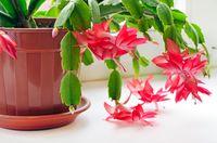Kaktus natal juga menghasilkan oksigen dan menyerap karbondioksida di malam hari. Ini membuatnya ideal ditempatkan di kamar tidur, karena membantu tidur dengan nyenyak. Foto: Thinkstock