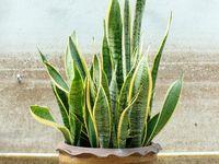 Sama seperti Aloe Vera, tanaman lidah mertua juga mampu mengkonversi karbondioksida menjadi oksigen di malam hari. Tanaman ini cukup efisien membersihkan udara dan menghilangkan formaldehida (metanal) di udara. Foto: Thinkstock